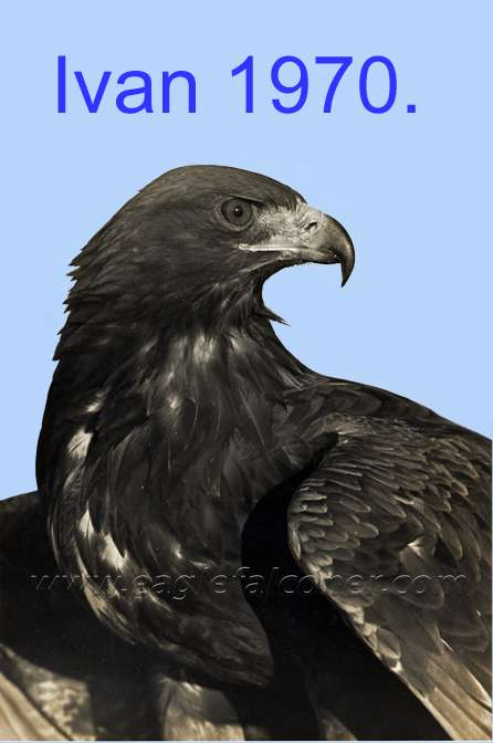 Trained male Golden Eagle