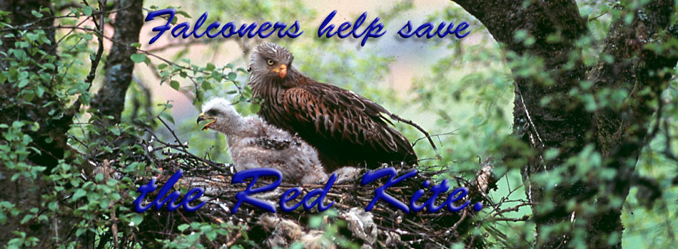 Falconers save Red Kite project