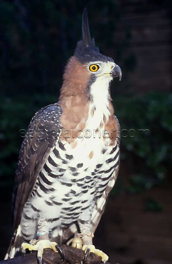 Trained Ornate Hawk Eagle
