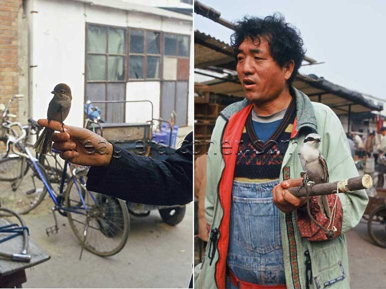 Trained Shrikes in China