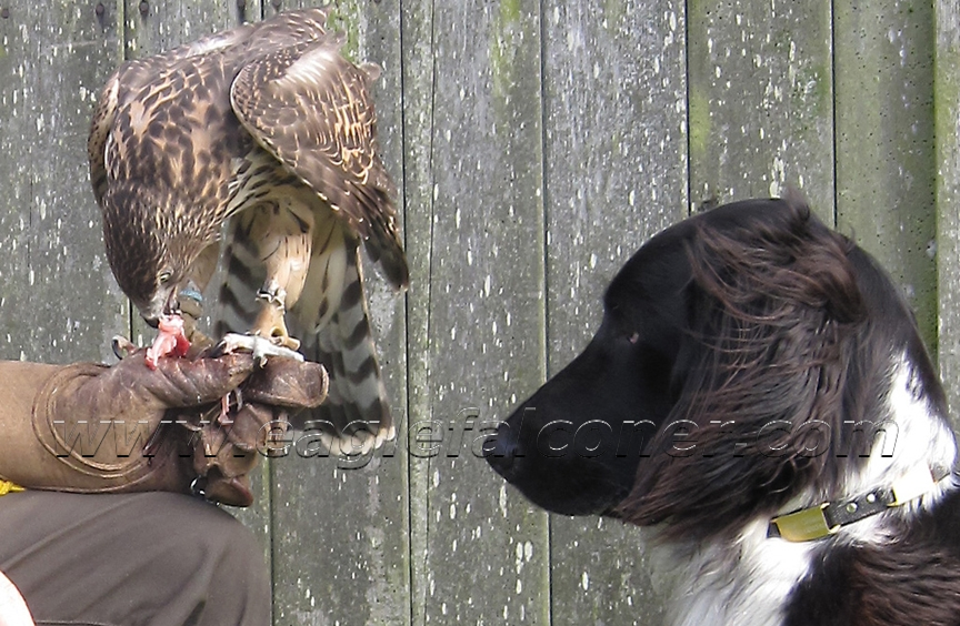 Large Munsterlander with trained Goshawk