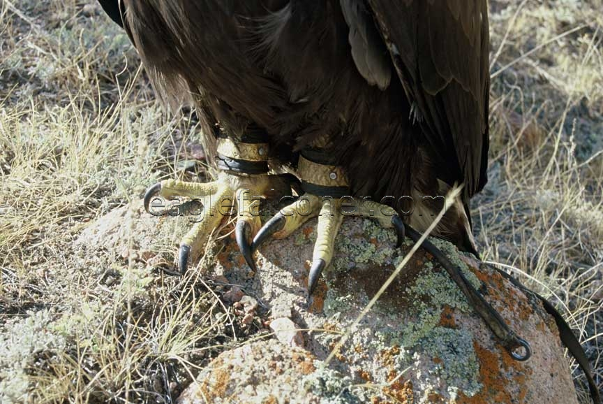 Eagles feet and talons